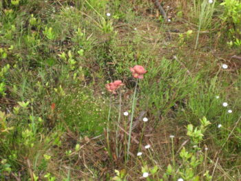 Pitcher plants at Tarkiln Bayou State Park