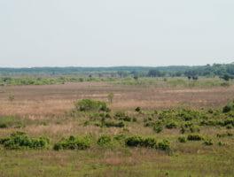 Wild horses on Paynes Prairie