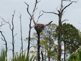 Osprey watching at Honeymoon Island