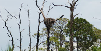 Honeymoon-ospreys
