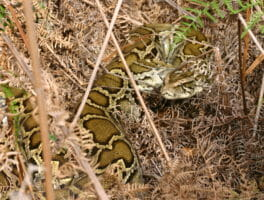 Keeping track of Everglades pythons