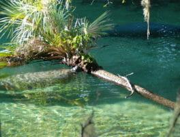 Manatee munching palm tree at Blue Springs