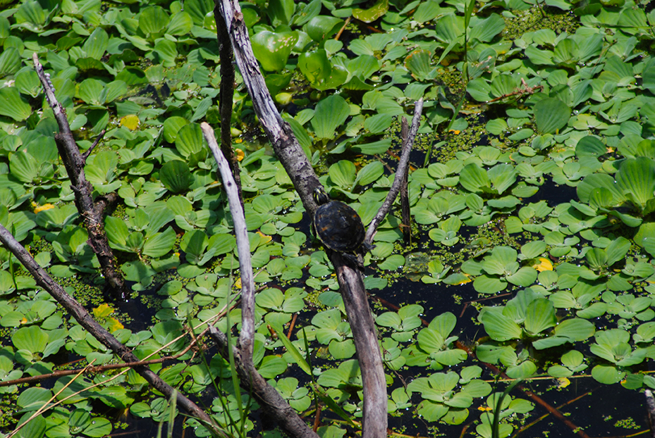 You'll always see reptiles along Lake Wauberg