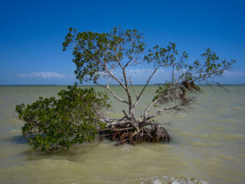 The lone mangrove along a hurricane-ravaged shore