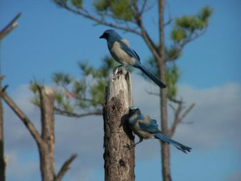 Florida scrub-jays