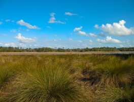 Know your sand cordgrass