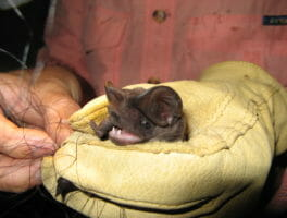 Endangered giant bat found at Picayune Strand