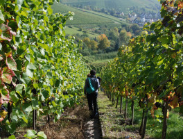 Along the Weinwanderweg