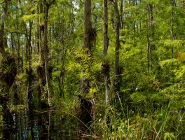 Summer in Big Cypress