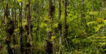 Big Cypress in summer