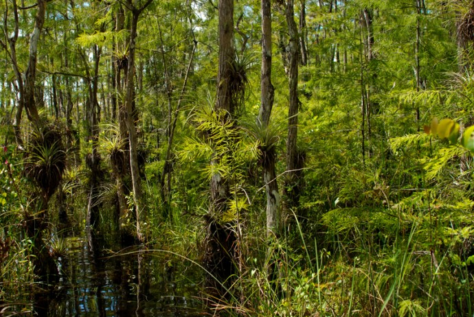 Big Cypress in summer