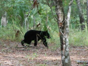 Florida black bear at Kelly Park
