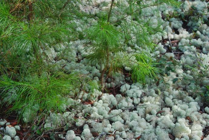 Sand pine scrub understory