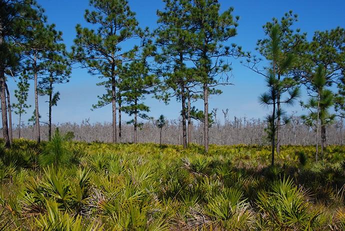 Longleaf pine savanna at Triple N Ranch, Holopaw