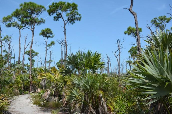 Pine rocklands in National Key Deer Refuge
