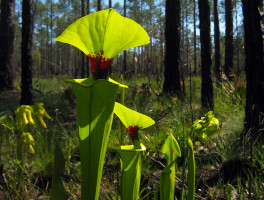 Wright Lake Trail pitcher plants