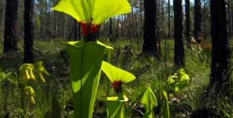 Wright Lake Trail pitcher plants