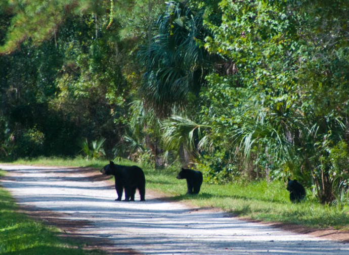 Florida black bear