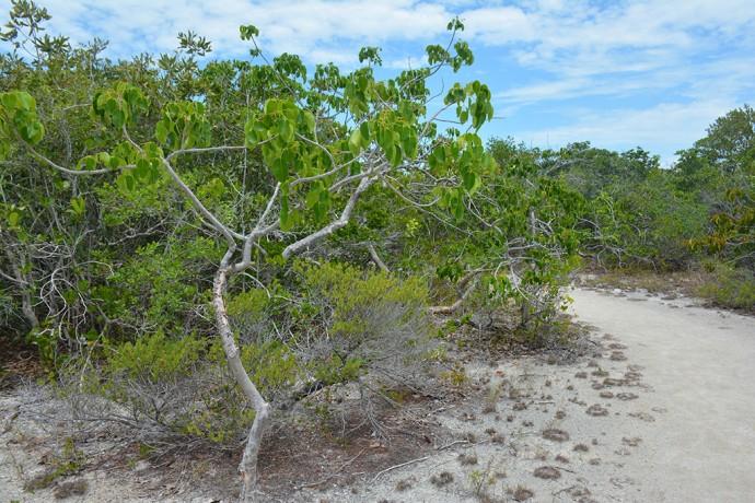 Stunted poisonwood tree