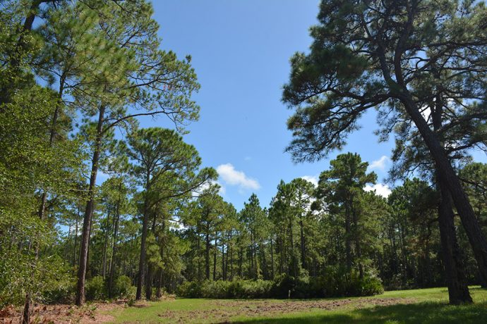 Among longleaf pines on the Long Leaf Trail