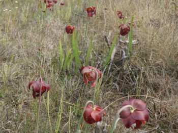 Yellow River Marsh pitcher plants