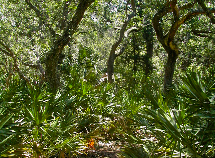 Live oak forest on the Ancient Dunes Trail