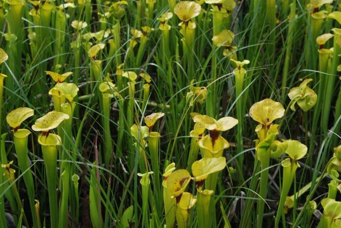 Pitcher plants near Sumatra