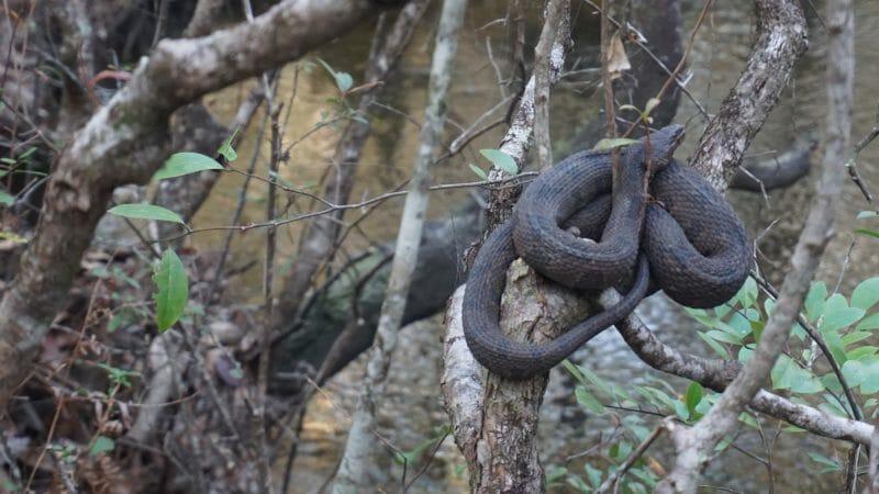 Banded water snake Lafayette Creek