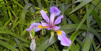 Wild iris at Bayard Point Conservation Area