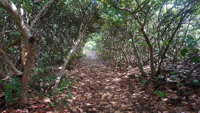 Sea grape tunnel