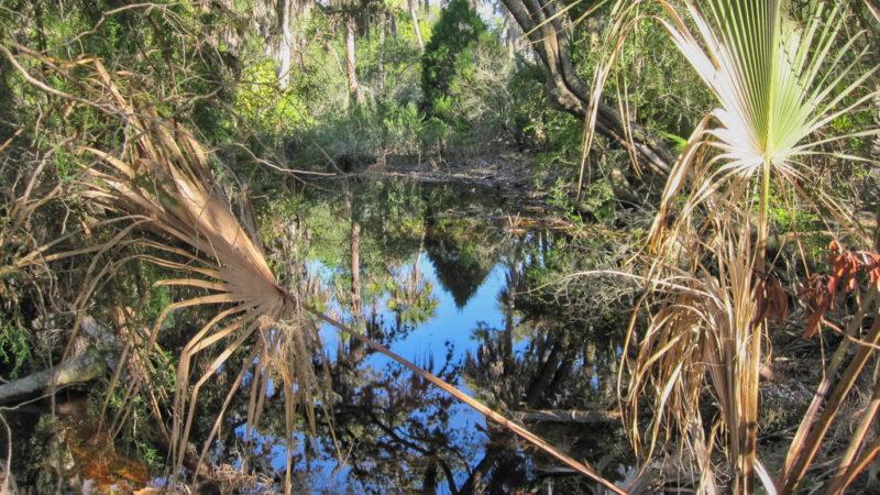 Caladesi Island pond