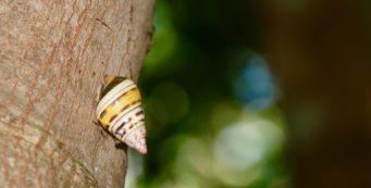 Liguus snail at Castellow Hammock Preserve