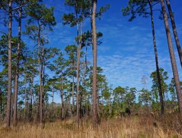 Chinsegut Big Pine Tract