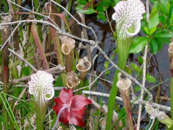 Pitcher plants along the Clear Creek Nature Trail