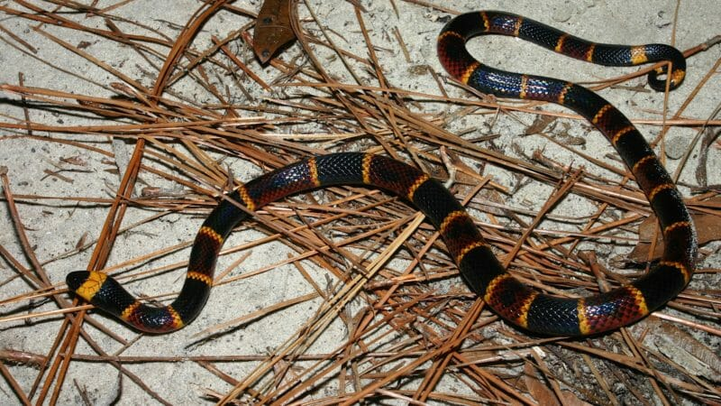 Coral snake FWC