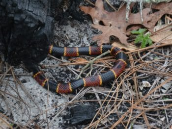 Coral snake loop Gold Head