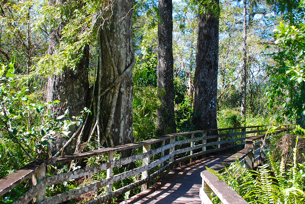Corkscrew Swamp Sanctuary Florida Hikes