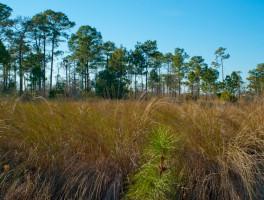 Dicerandra Scrub Sanctuary