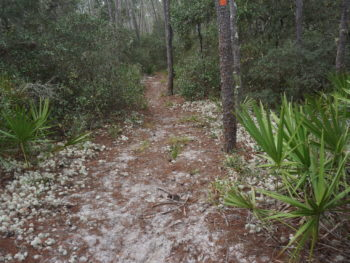Florida Trail Big Scrub near Farles