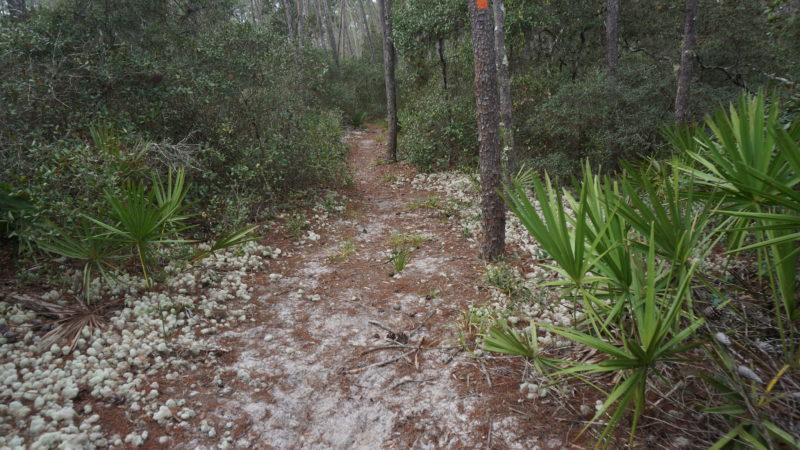 Florida Trail Big Scrub near Farles