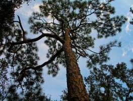 Dade Battlefield Pine Flatwoods Trail