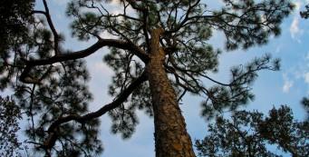Pine Flatwoods Trail