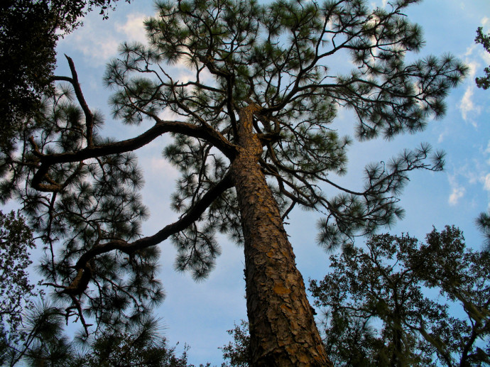 Pine Flatwoods Trail