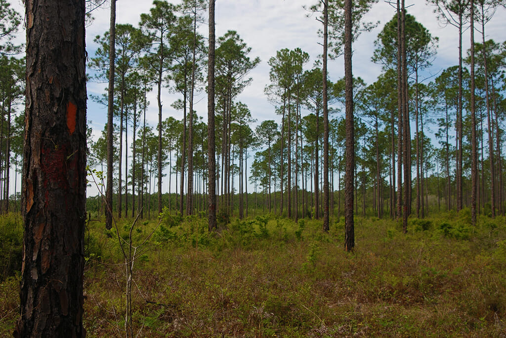 Pine Log State Forest Florida Hikes