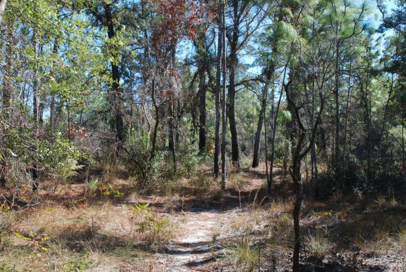 Sandhill habitat Ross Prairie Loop