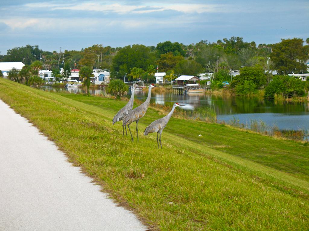 Sandhill cranes near Okeechobee