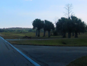 Florida panther crossing the road at Big Cypress Seminole Reservation
