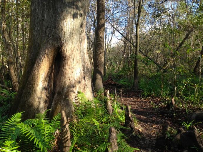 Bald cypress at Spring Hammock Preserve