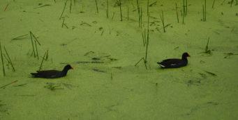 Moorhens at Green Cay Wetlands