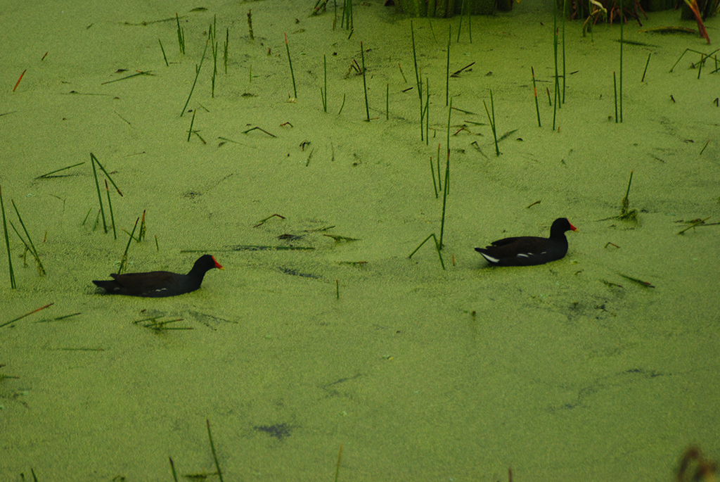 Moorhens at Green Cay Wetlands